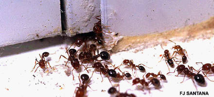 Picture Of Fire Ants In Kitchen By Fred J. Santana, Entomologist